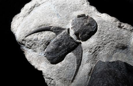 Placoderm (Dicksonosteus) - Spitzberg
