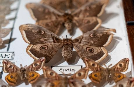 Papillons de nuit - #2 Biodiversité Fribourg / Collection Tobie de Gottrau