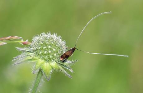 Männliche Skabiosen-Langhornmotte (Nemophora metallica)