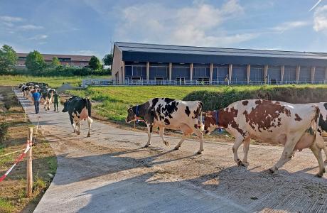 Transfert des vaches