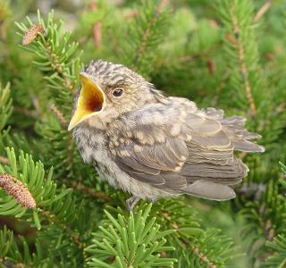 Jeune Gobemouche gris - Exemple d'oiseau à laisser dans la nature