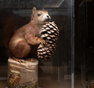 Un exemple d'animal préparé à la taxidermie