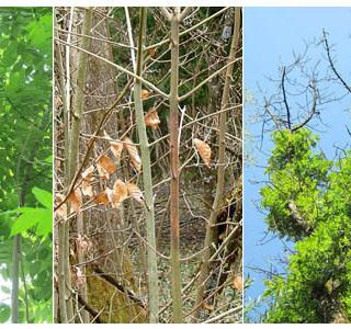 Symptômes du flétrissement de frêne