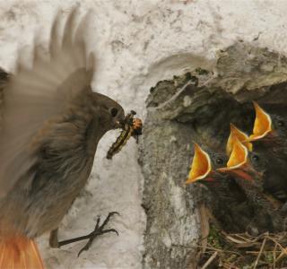 Femelle rougequeue noir au nid