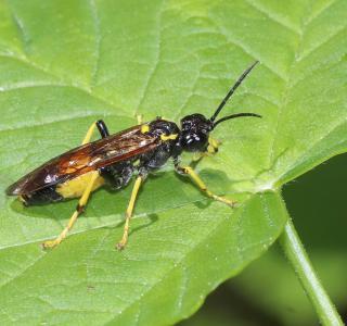 Pflanzenwespe (Tenthredo sp.)