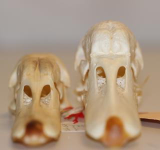 Crânes d'oiseau, face