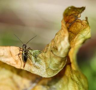 Puce de neige femelle (Boreus hyemalis)