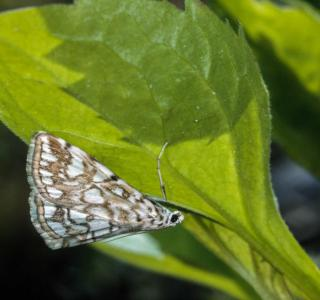 Papillon adulte (Elophila nymphaeata)