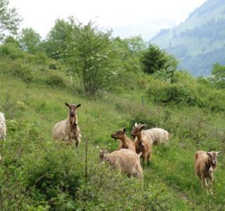 Revitalisation et entretien pastoral de biotopes embroussaillés