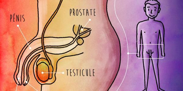 organes sexuels masculins