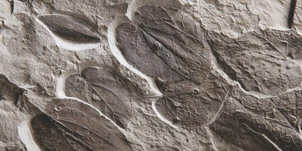 Feuilles d'arbres au caramel fossilisées (Cercidiphyllum crenatum)