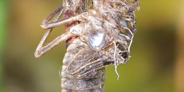 Exuvie d'une libellule à quatre tache (Libellula quadrimaculata)
