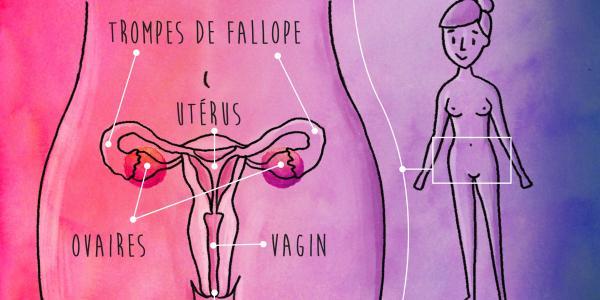 organes génitaux internes