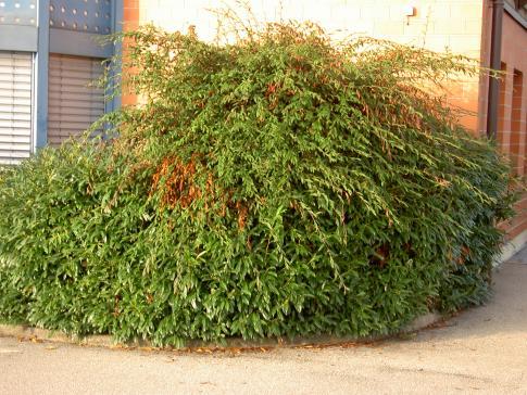 Plantes et arbres atteints du feu bactérien