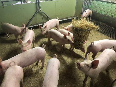Schweineproduktion des Schulbauernhofs von Grangeneuve