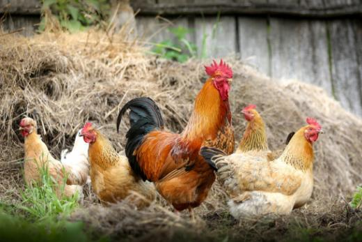 Geflügelhalter - Vogelgrippe