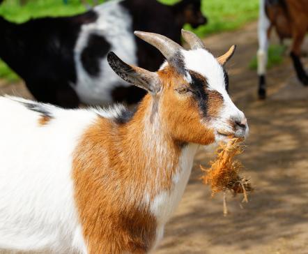 Plus aucune dérogation pour les grilles de fermeture à l'arrière des moyens de transport d'animaux