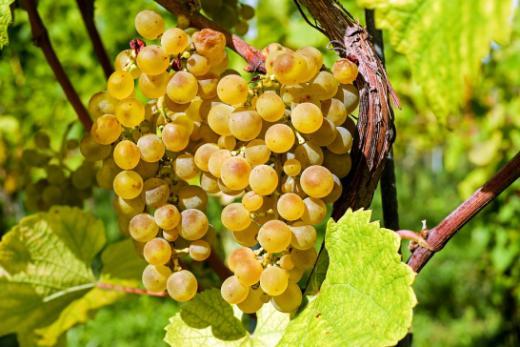 Viticulture du canton de Fribourg