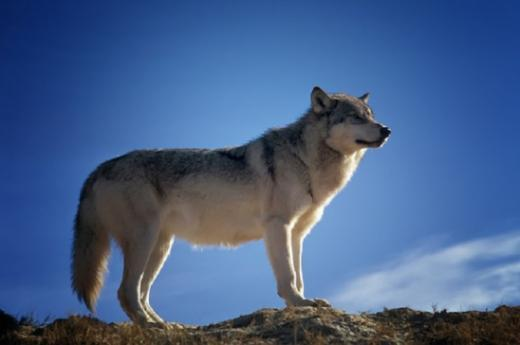 Le loup dans le canton de Fribourg - Randonnée thématique