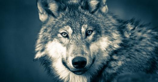 Un loup a été aperçu dans la région de Bulle ce week-end