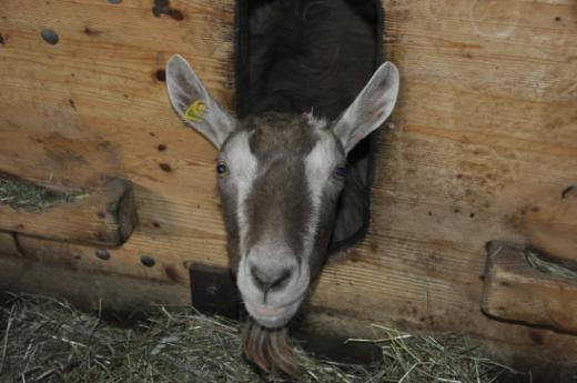 Baugesuch für die Haltung von Ziegen