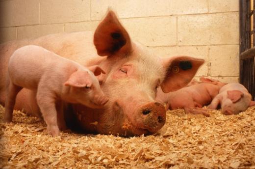 Permis de construire pour la détention de porcs
