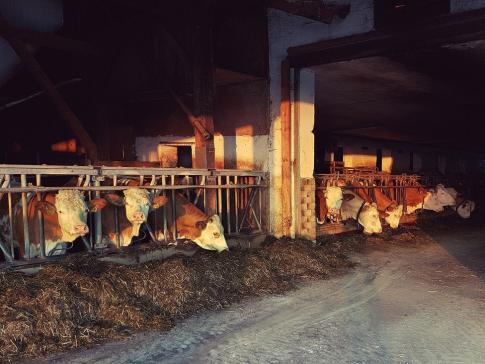 Permis de construire pour la détention de bovins