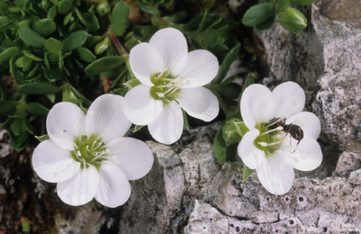 Endemische Pflanzen der Alpen