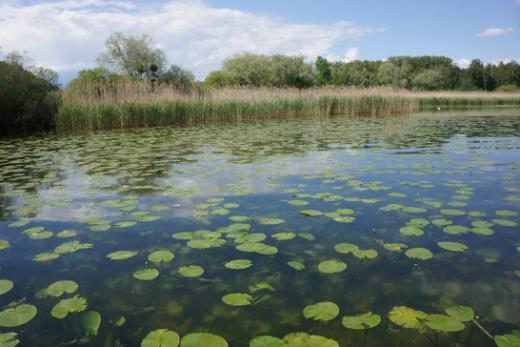 Plantes aquatiques et des marais de Fribourg et du monde