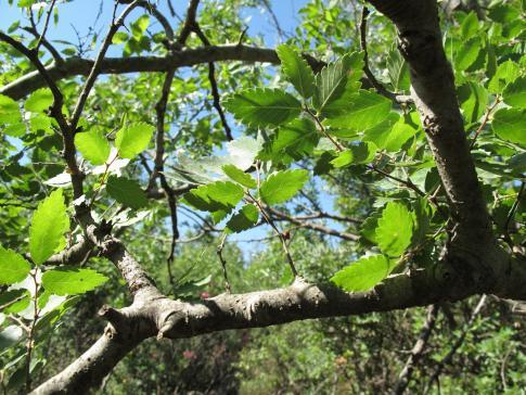 Les arbres reliques (Projets Zelkova et Pterocarya)
