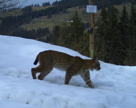 Estivage 2018 : une seule perte due à l'attaque de grands prédateurs