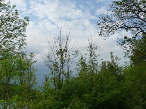 Le flétrissement du frêne (Chalara fraxinea)