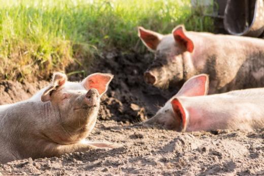 Peste porcine africaine (PPA)