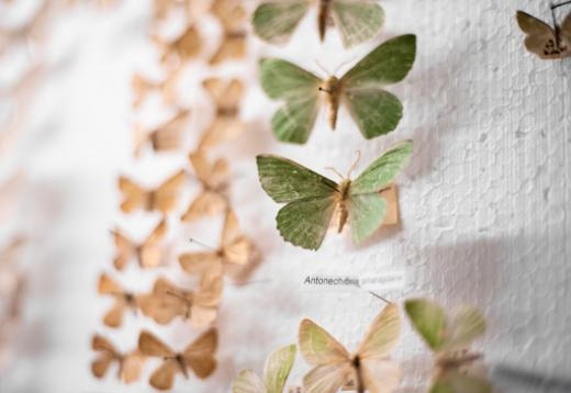 Vérification de la collection des papillons de nuit