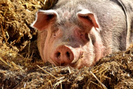 Fribourg se prépare à la peste porcine africaine