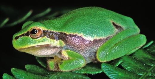 Biotope für den Laubfrosch