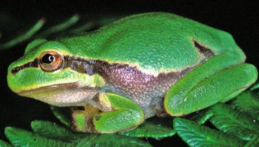 Biotopes à rainette verte