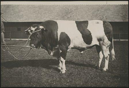 Marché-concours de taureaux à Bulle