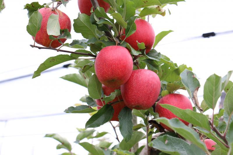 Das Bild zeigt Apfelbäume