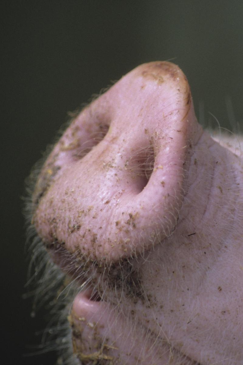 Texte montrant le groin d'un cochon