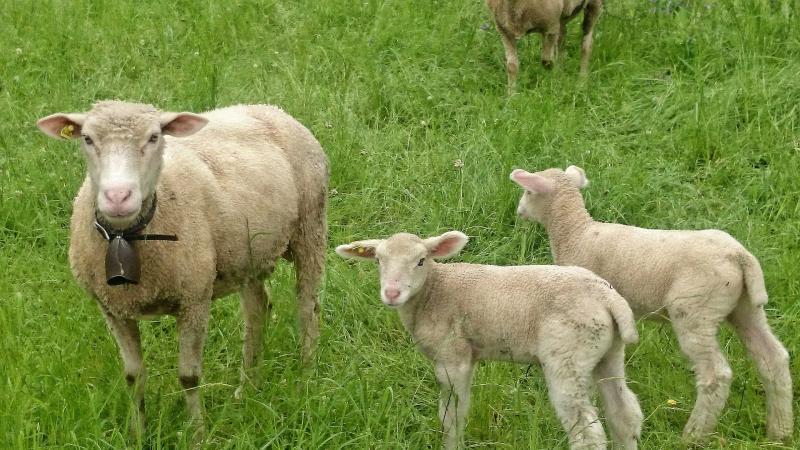 Mouton et ses agneaux