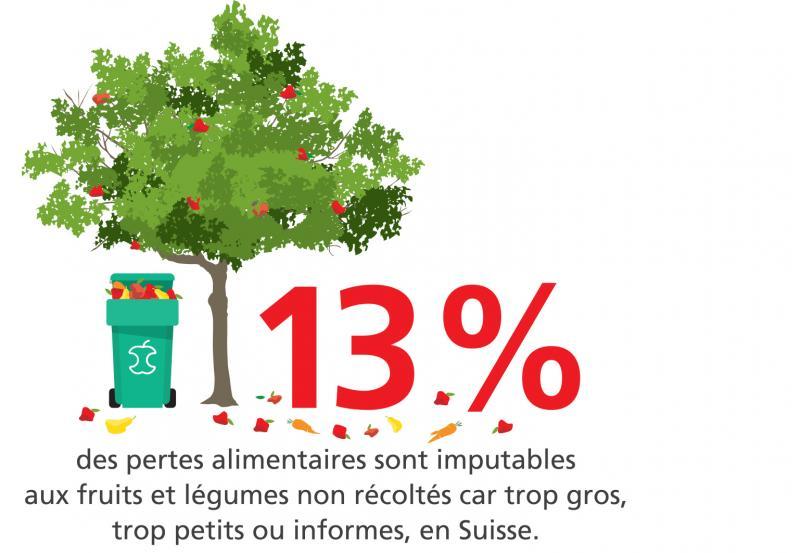 13% des pertes alimentaires sont imputables aux fruits et légumes non récoltés car trop gros, trop petits ou informes