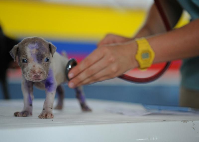 chiot ausculté par un vétérinaire