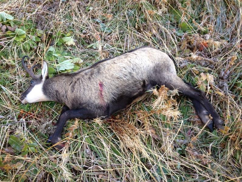 la photo montre un chamois tiré lors de la chasse