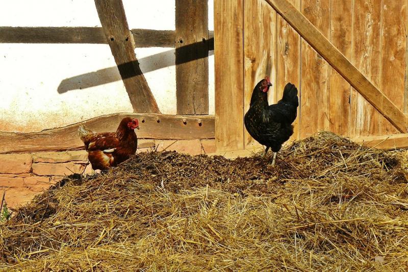 Das Photo zeigt zwei Hühner auf einem Misthaufen