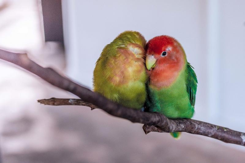 la photo représente un couple d'inséparables, des perroquets qui doivent être détenus à deux minimum