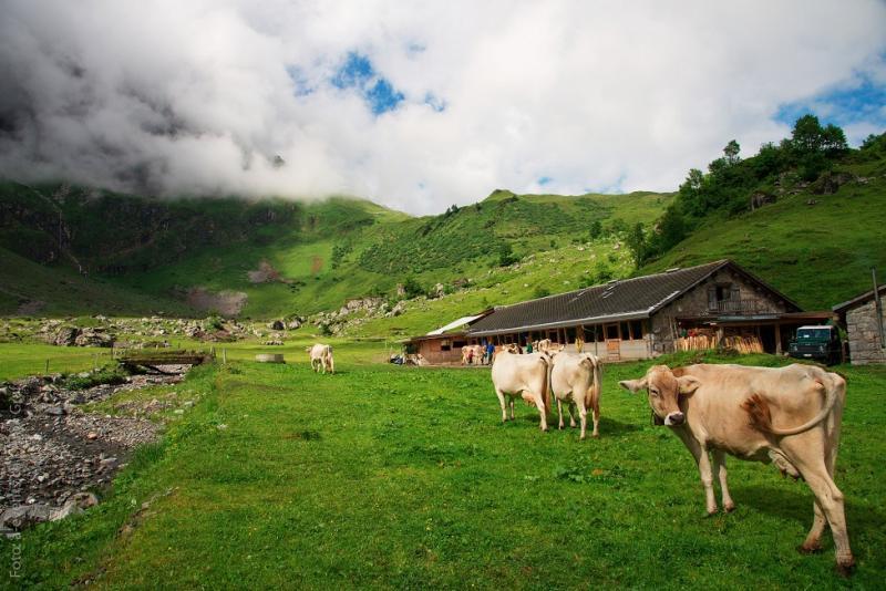 das Photo zeigt Kühe vor einer Alphütte