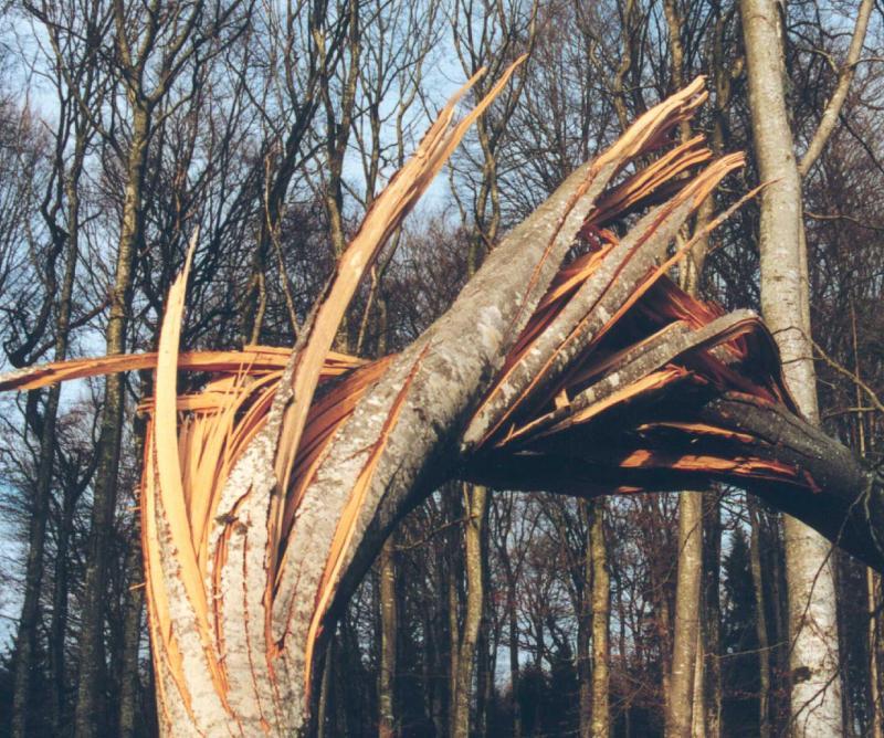 Von Lothar zerbrochener Baum