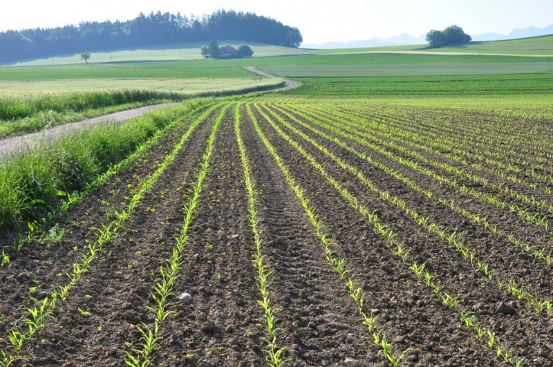 Maispflanzung