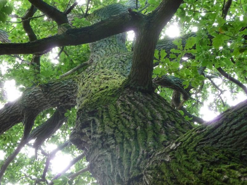 Un chêne - Eiche